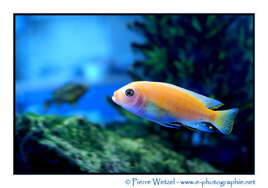 Le poisson rouge orange fluo